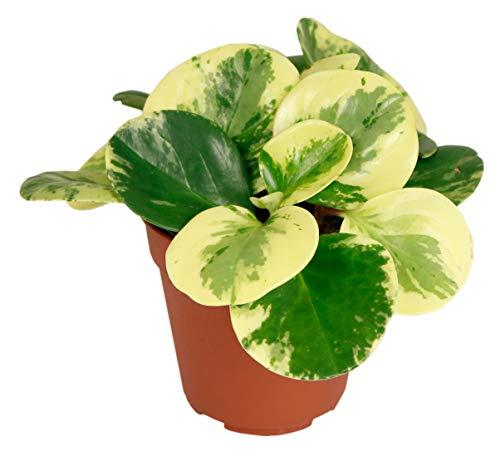 Peperomia `Green Gold´, im 12 cm Topf, Zierpfeffer, ca. 10cm hoch