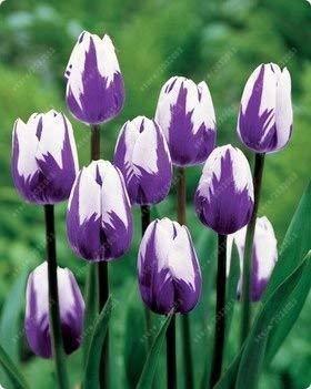Wahre Tulpenzwiebeln, Vielzahl Frische Zwiebeln Tulpen, Blumenzwiebeln hochwertige Zwiebelwurzel Hausgartenpflanze (nicht Tulpensamen) - 2 Stk. 17
