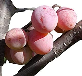Native American Plum Tree - Edible Fruit - Established 1 Gallon Pot - 1 Plant by Growers Solution