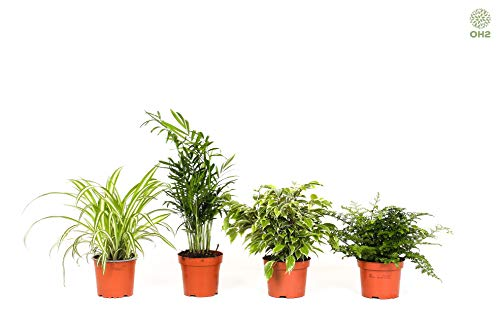 OH2 - 119.1 - Pflegeleichte Zimmerpflanzen / Mexikanische Bergpalme - Graslilie - Asplenium Parvati - Ficus Kinky Green, pflegeleichte Zimmerpflanzen, 4er Set