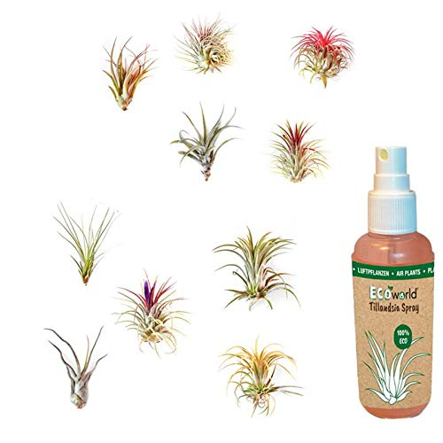 Ecoworld Tillandsien, Luftpflanzen - 10 Stück - 10 Verschiedene Pflanzen