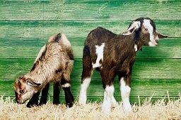 Basu Ziegenmüsli Zusatzfutter für Ziegen und Zwergziegen 25 kg