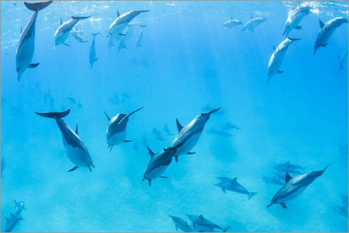 Acrylglasbild 90 x 60 cm: Delfine unter Wasser von Design Pics - Wandbild, Acryl Glasbild, Druck auf Acryl Glas Bild