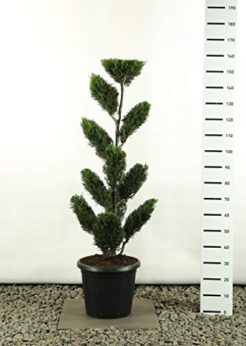 Formschnitt Formgehölz Bonsai PonPon - Cupressocyparis leylandii 2001 Multiplateau extra - Gesamthöhe 125-150 cm - 20 Liter Topf