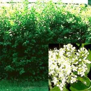 Mühlan Wasserpflanzen 50 Liguster Stecklinge reichen für 10 Meter Hecke