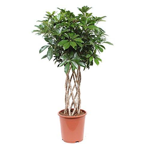 Zimmerpflanze von Botanicly – Kleine Strahlenaralie – Höhe: 100 cm – Schefflera arb. Compacta