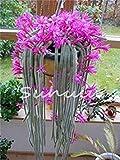 cushy 200pcs potteds epiphyllum semi balcone bonsai seme per garden & home four seasons semina facile da coltivare 10