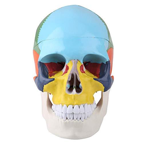 Kit Modelo Anatomía del Cráneo de Anatomía Humana, Versión Didáctica Modelo Anatómico del Cráneo Humano Adulto de Color con Tarjeta Médico Enseñar Instrumento