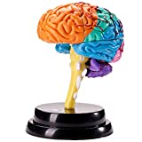 RuiyiF Brain Structure Model Anatomy Toys for Kids, Human Brain Model for Teaching, Learning, School Use