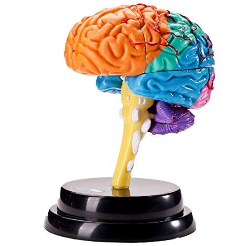 OIURV Gehirn Strukturelle Modell Zerlegtes menschliches Modell Wissenschaft Lehr Werkzeuge Zerlegt Anatomie Medizinisch Lehren Lernwerkzeug