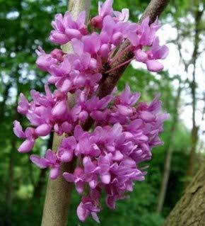 Kanadischer Hänge Judasbaum Lavender Twist 100-125cm - Cercis canadensis