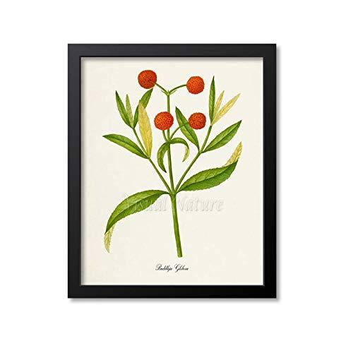 Buddleja Globosa Blumen-Kunstdruck Botanischer Kunstdruck Blumen-Wandkunst Blumendruck Blumendruck Orange Kugel Baum Orange Blumenkunst