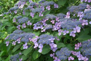 Hydrangea serrata 'Bluebird' -...