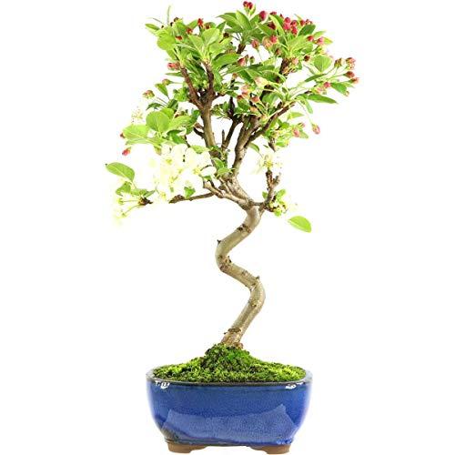 Manzana decorativa, bonsái, 9 años, 40 cm