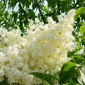 Japanese Lilac Ivory Silk - 2 Year Live Tree