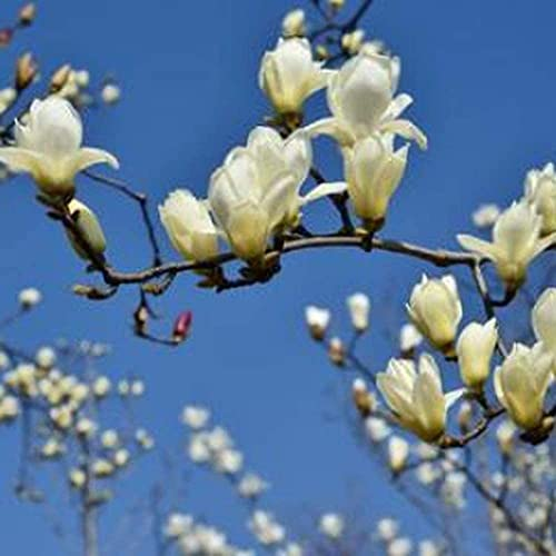 20 Piezas Magnolia Semillas Para Plantación De Patio De Jardín Árbol De Hoja Caduca Flor Blanca En El Jardín Fácil De Cuidar Crea Un...
