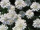 1000白皇后のCandytuftイベリスアマラの花の種*櫛S/H