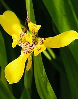 6 Plantlets Yellow Walking Iris Plant - Neomarica longifolia – Apostle Iris