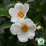 シャラノキ 苗 【シャラ (白花)】 約1.3m 株立ち 根巻き大苗