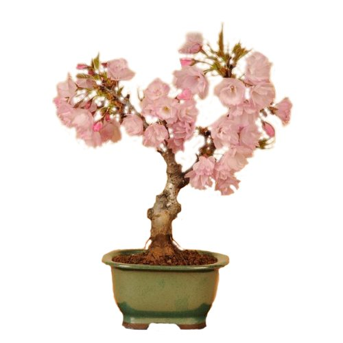 盆栽:一才桜*【春に開花】bonsai