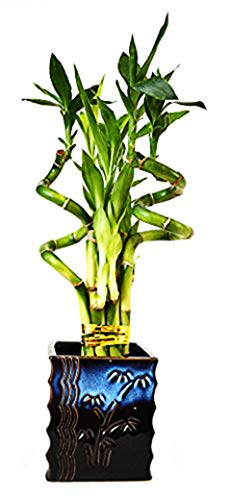 9GreenBox - Lucky Bamboo – Spiral Style with Black...