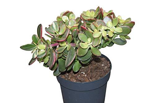 Planta de interior para la casa y la oficina - Planta del dinero - Crassula Ovata