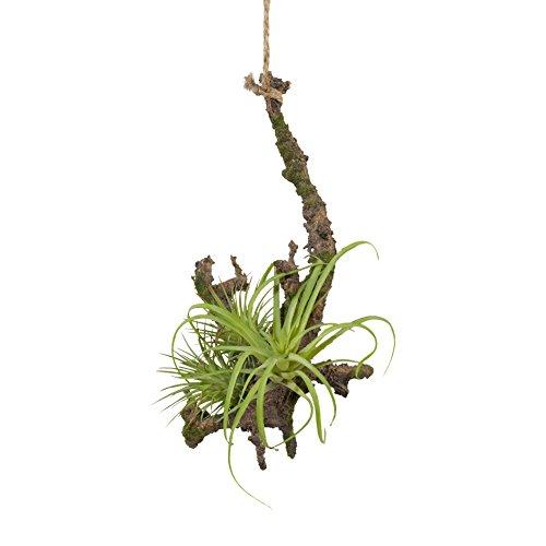 Gasper Tillandsie mit Wurzel Hängepflanze Kunstpflanze 1118010-00 F58