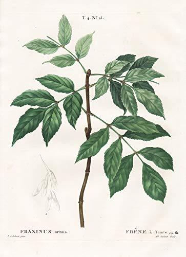 Fraxinus ornus - Fraxinus ornus / Manna-Esche / Botanik botany