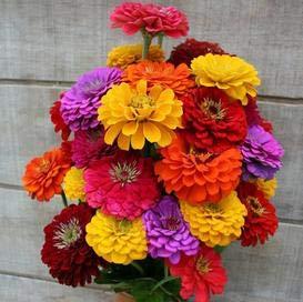 Zinnia California Giant Mix Flower Seeds, 500 Heirloom Flower Seeds Per Packet, Non GMO Seeds
