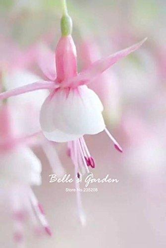 50pcs Multi-couleurs rose pétales de double Fuchsia Graines bon marché Graines Potted belle fleur Graines Bonsai Graines 04