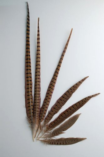 "50 Pcs English Ringneck Pheasant Tails 10-12"" Feathers"