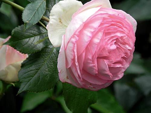 Pinkdose Schlussverkauf!100 stücke Seltene rose baum rose blume Mini Kletterrose Baum Mini bunte bonsai rose blume bonsai für hausgarten: 10
