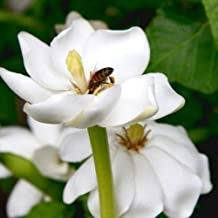 1 Packet of 50 Seeds Forest Tree Gardenia/Rubiaceae / Gardenia Thunbergia