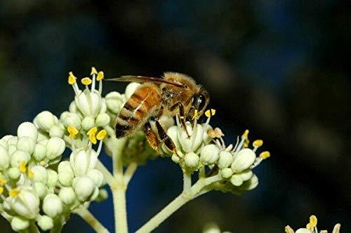 Portal Cool Samen Paket: 6000 Samen: Bienenbaum (Euodia, Evodia, dium, Honigbaum) - 200/750/2500/6000 Seeds + Gift
