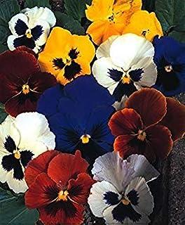 Shop Meeko SeeKay Pensamiento suiza mezcla - Viola wittrockiana - 800 semillas de flores de invierno - Las anuales y Biennialsplant