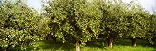 Posterazzi PPI147408S Pear trees in an orchard Hood River Oregon USA Poster Print 18 x 6