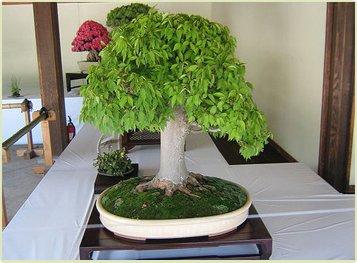 semillas de roble bonsai raras, 10 PC / bolso, una buena planta de jardín bonsai para Tiesto plantadores