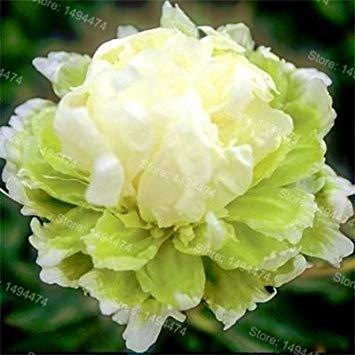 Vistaric 10pcs / sac mixte couleur pivoine graines Chinois Rose graines Arbre Pivoine Graines belle Décoration bonsaï fleur plante pour la maison jardin 4
