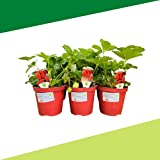 Fragola Rossa BIO rifiorente 4 stagioni (6 PIANTE) - Piante da orto in vaso - Azienda agricola Carmazzi