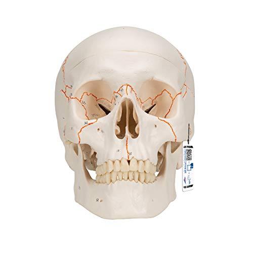 3B Scientific Menschliche Anatomie - A21 Klassik-Schädel mit Nummerierung, 3-teilig + kostenloser Anatomiesoftware - 3B Smart Anatomy