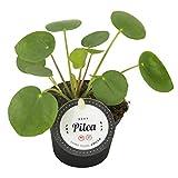 Glückstaler Zimmerpflanze, pflegeleicht