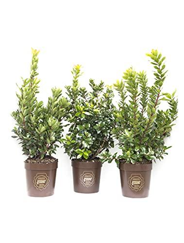 Arbuts unedo, Corbezzolo, Cespuglio, Pianta vera in vaso di Vannucci Piante, Pianta da terrazzo (cod. 6) (3x)