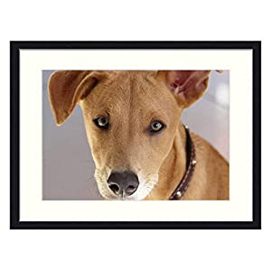OiArt Wall Art Canvas Prints Wood Framed Paintings Artworks Pictures(20x14 inch) - Dog Young Dog Head Small Dog Cute Brown Africanis 29