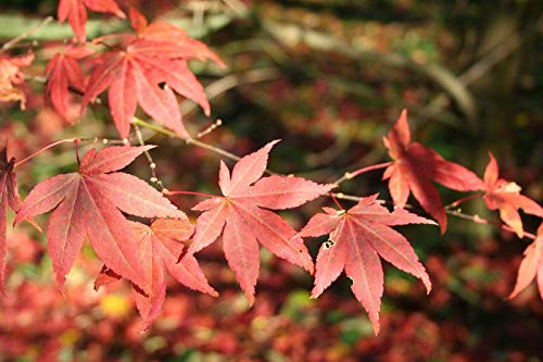 Roter Fächer-Ahorn Ac. palmatum...