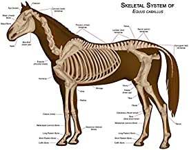 ANIMALS SKELETON BONES HORSE ANATOMY LARGE WALL ART PRINT POSTER PICTURE LF1920