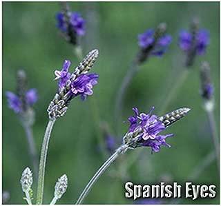 Risalana Spanish Eyes Lavender Flower - Commonly Called Fern Leaf Lavender or Egyptian Lavender - Lavandula Multifida Seeds,Choose from 20 or 200 (Pkt Size - 20 Seeds)