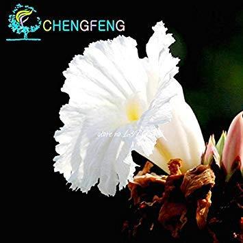 VISTARIC De nouvelles graines fraîches 100 Pcs/Sac Ginger Graines Balcon légumes en pot Bonsai Graines de plantes Four Seasons Zingiber Plantes Graines, KOOTM