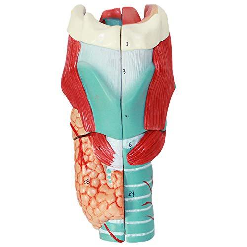 Modelo Ampliado De Anatomía Laríngea Estructura Laríngea Cartílago Laríngeo Músculo Laríngeo Y Modelo Médico De Cavidad Laríngea