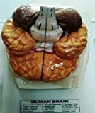 he model dissects into 8 parts to show the basilar artery; and the frontal and parietal lobes, temporal and occipital lobes, brainstem, and cerebellum of each hemisphere It also features an incorporated Circle of Willis The anatomical model is highly...