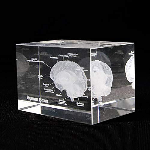 ZJM Kristall 3D Menschliches Gehirnmodell Mit Anatomischem Strukturdiagramm, Hirnanatomischem Modell Papiergewehr (Lasergeätzt) in Kristallglaswürfelwissenschaftsgeschenk,6 * 6 * 10cm